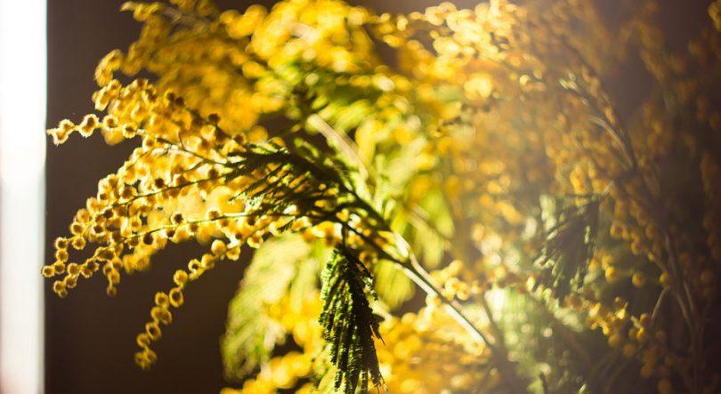 cvijeće-proljeće-mimoza-žuta-sunce-vijesnik