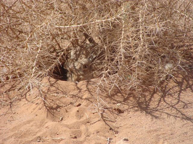 الارنب البري Jackrabbit