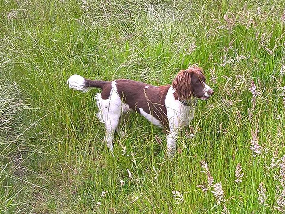 Cute Pictures of English Springer Spaniel Puppies