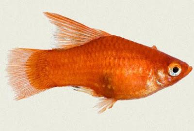 Gambar Ikan Platy Red Balloon Hifin
