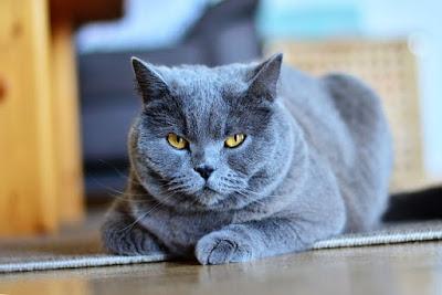 قطط الشارتروكس : Chartreux