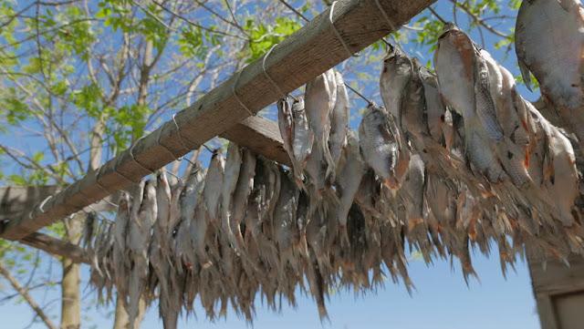 Mùa khô mùa bắt cá lóc đồng miền Tây