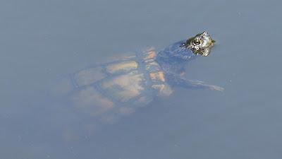 寝屋川市の山新池 イシガメ?