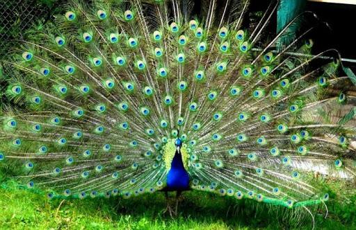 540 Sketsa Gambar Hewan Burung Merak HD Terbaru