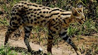 Serval animal pictures_Felis serval