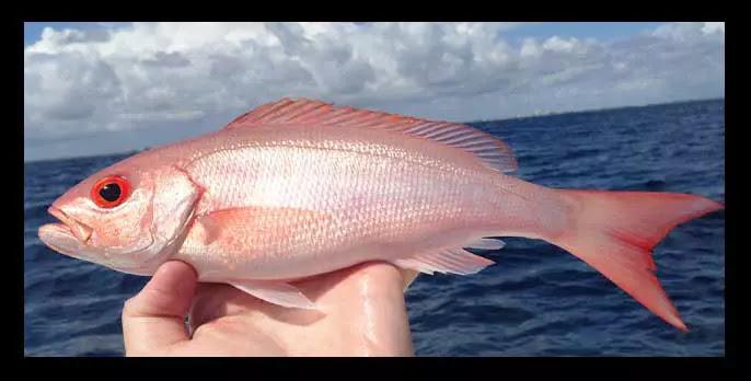 jenis Ikan Kakap Vemilion