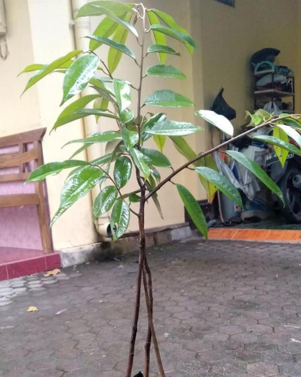 bibit durian bawor kaki 3 okulasi unggul Pekalongan