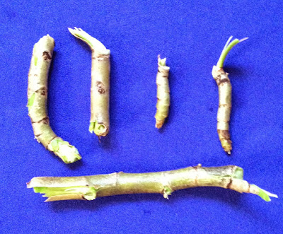 image of original dhatrumurgasiniy herbs
