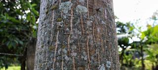 tronco-do-mulungu-com-espinhos-e-estrias-brancas-verticais