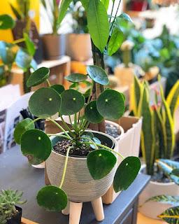 Popularne rośliny doniczkowe