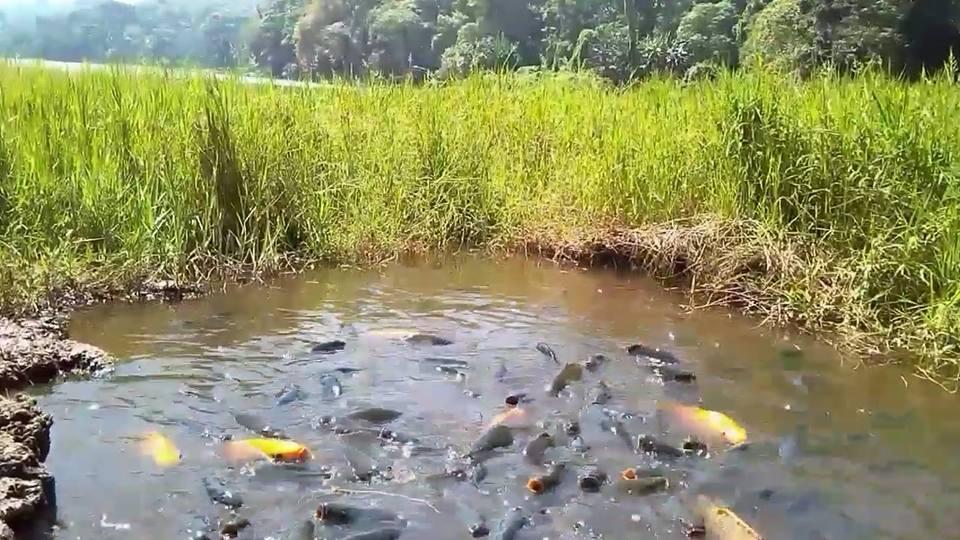 Ribuan babon ikan mas telaga ranjeng bumiayu brebes