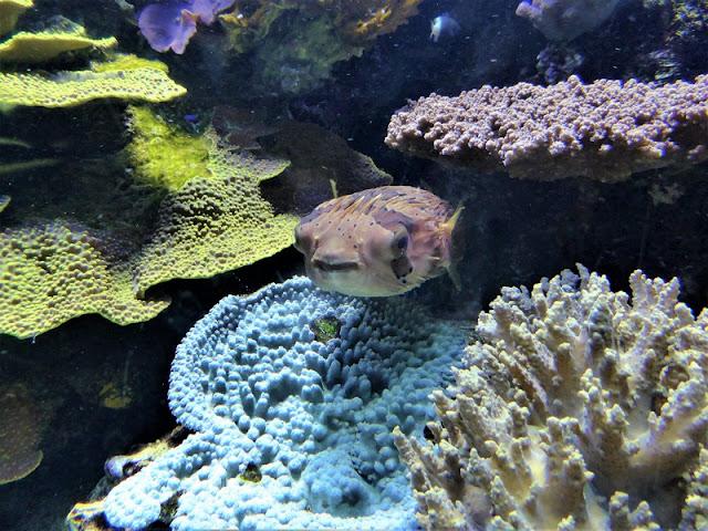 Museo Oceanográfico de Mónaco, pez globo