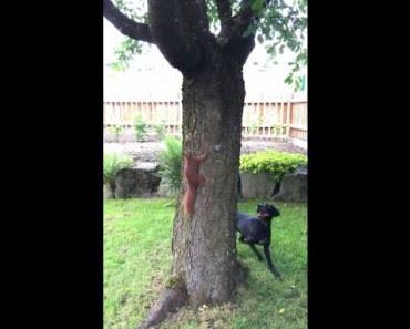 Un écureuil joue un tour à un chien en tournant autour d'un arbre!