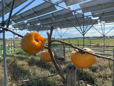Persimmons on a solar sharing farm in Tsukuba, Japan