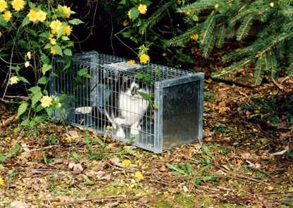black and white feral cat inside a cat trap outdoors