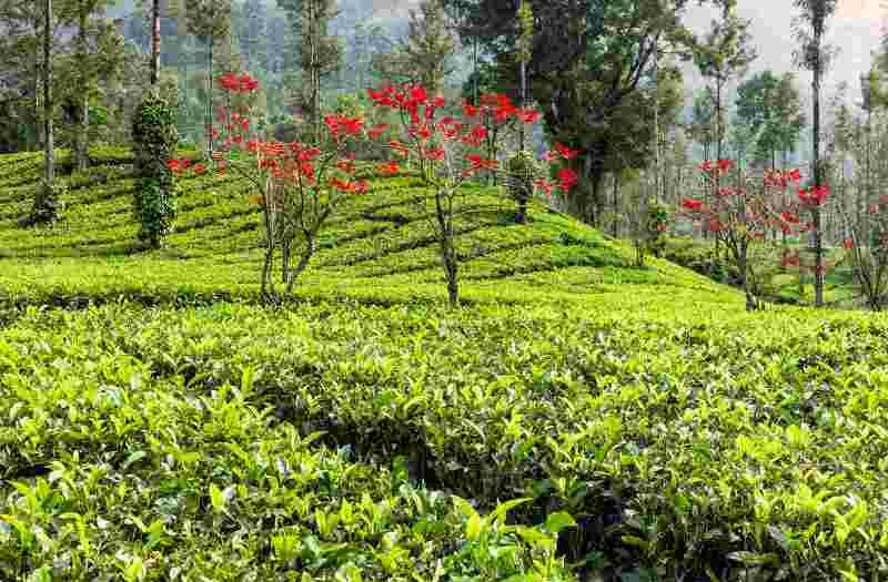 Best Resorts in Thekkady - Tea Plantation