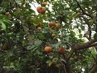 Lemons in tree - Senator Fong's Plantation and Gardens, Oahu, HI