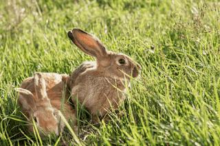 Waktu yang Tepat Mengawinkan Kelinci