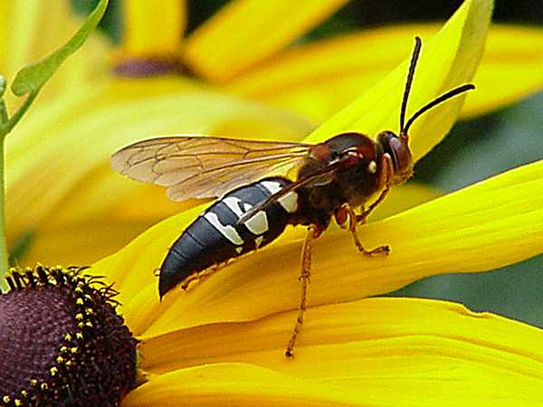biological thinking giant hornets of death cicada killer wasps