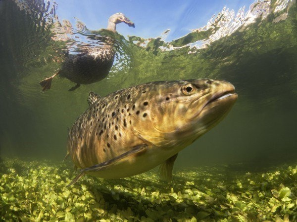 The Best Underwater Photos EVER Taken Show Life From A Different Angle. - British Waters Compact 'Hello Ducky!' by Paul Colley from the UK