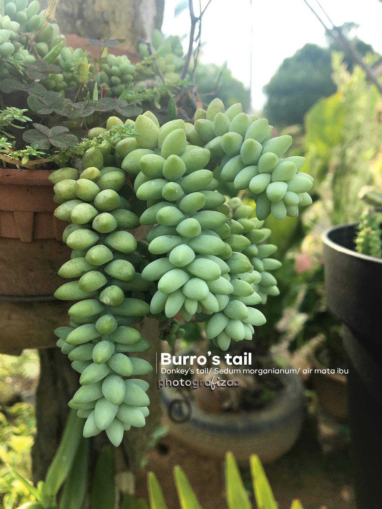Pokok air mata ibu/Burro's tail