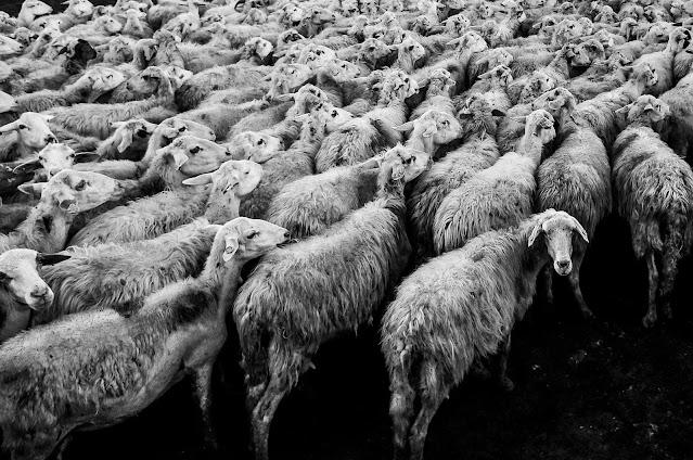 Zoetiksen lääkkeillä hoidettuja lampaita?