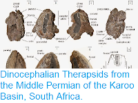 http://sciencythoughts.blogspot.co.uk/2015/03/dinocephalian-therapsids-from-middle.html