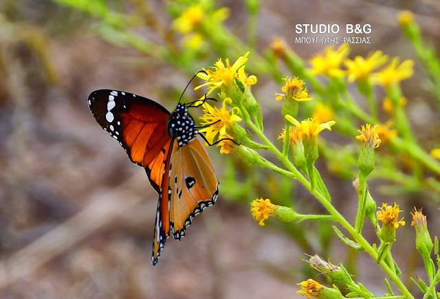 Η φωτογραφία της ημέρας: Μια πεταλούδα με όνομα από την μυθολογία του Άργους
