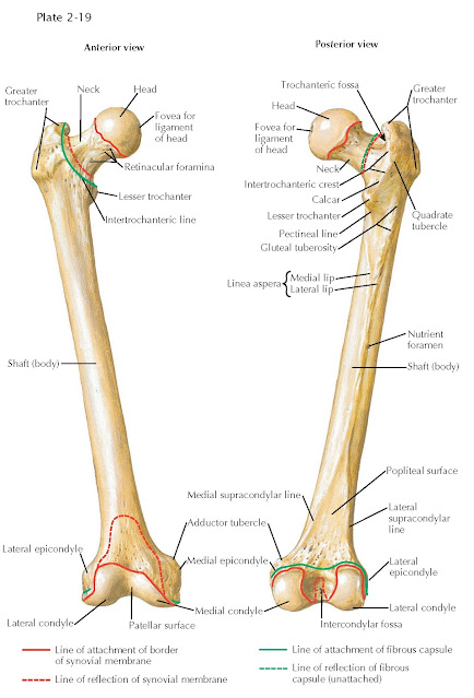 OSTEOLOGY OF THE FEMUR