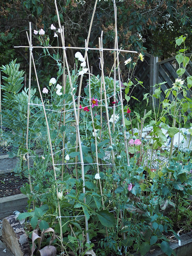A simple guide to growing sweet peas | Lotts and Lots | Making the