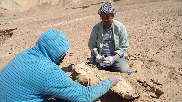 فريق جامعة الوادي الجديد يكتشف حفرية بحرية عملاقة بصحراء الفرافرة