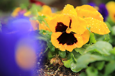 Yellow Pansies in the Rain - Flower Photography by Mademoiselle Mermaid
