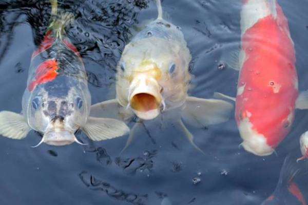 penyakit Busuk Insang / Gill Rot (Branchiomycosis) ikan koi