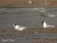 Bonaparte's gulls, one in breeding plumage  Souris area, PEI, by Roberta Palmer