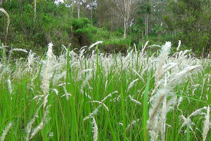 Dlium Cogon grass (Imperata cylindrica)
