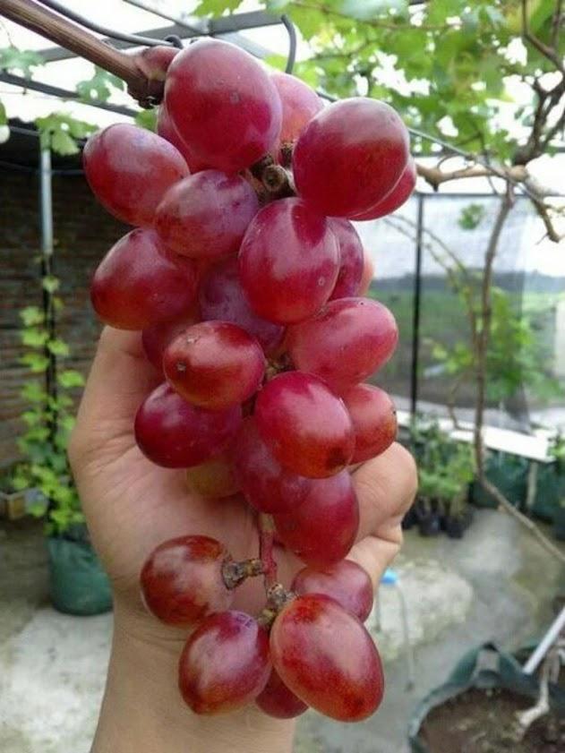 Bibit buah anggur import jenis Nina Queen Kalimantan Selatan