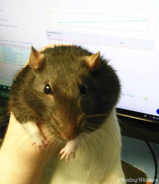 Kingston the rescue rat at the vet
