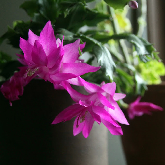 flowers, flowering houseplants, thanksgiving cactus, zygocactus, schlumbergia, Anne Butera, My Giant Strawberry