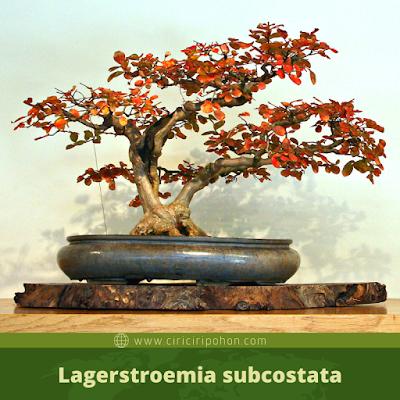 Lagerstroemia subcostata