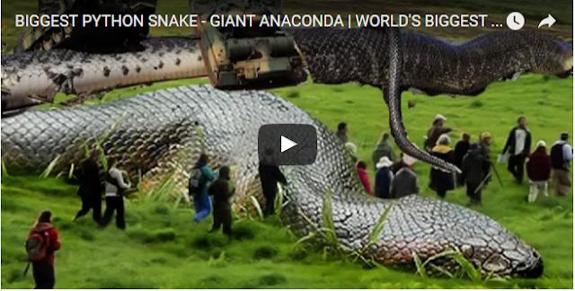 BIGGEST PYTHON SNAKE - GIANT ANACONDA | WORLD'S BIGGEST SNAKE FOUND IN AMAZON RIVER #2 - newspost