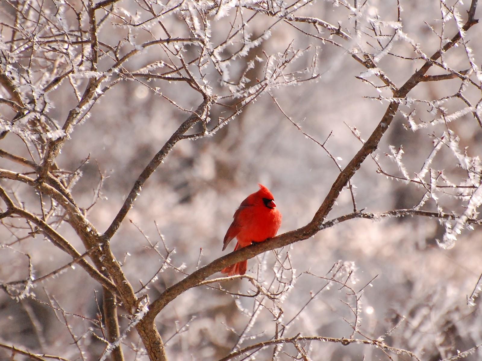 cardinal winter computer wallpaper - photo #30