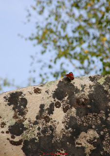Paon de jour, Fontainebleau,