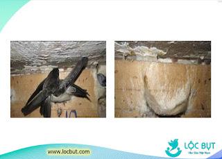Giai đoạn chim yến rời khỏi tổ.