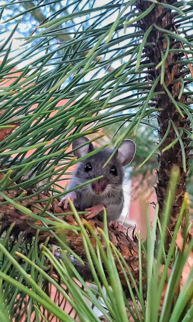 A mouse in my backyard