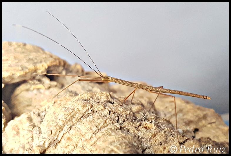 "Ninfa hembra L3 de Lamachodes sp ""Bokor"", 3,4 cm de longitud"