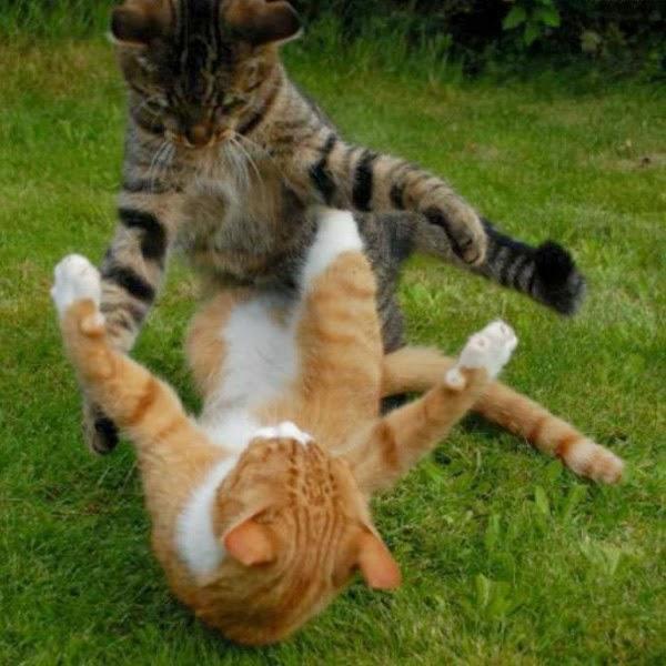Sự Giao Chiến Giữa Các Chú Mèo
