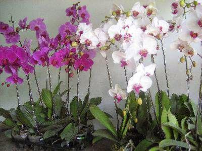 Jual Tanaman Anggrek Bulan   Tanaman Bunga Anggrek   Jual Tanaman Online