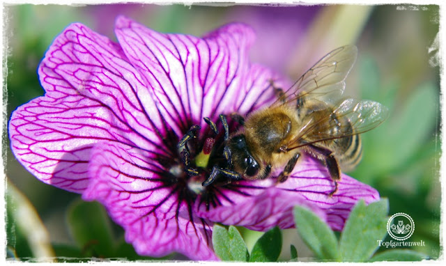 Gartenblog und Foodblog Topfgartenwelt Buchtipp Kreative Naturfotografie: Naturfotografie Ausrüstung - Biene auf Storchenschnabel