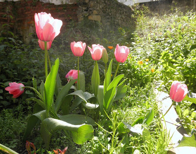 flores de tulipanes rosas