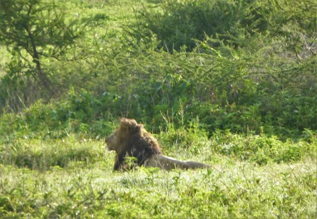 leone cratere ngorongoro